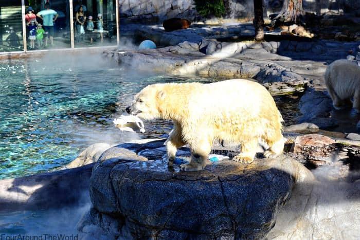 Seaworld Gold Coast polar bears