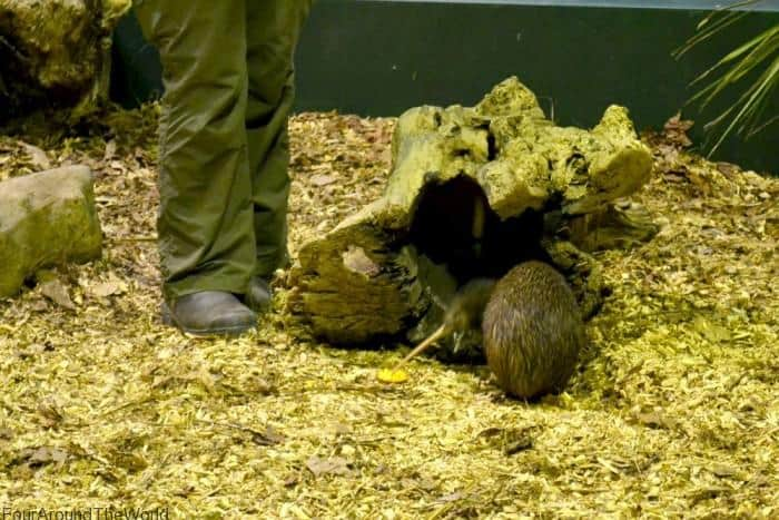 Kiwi at auckland zoo