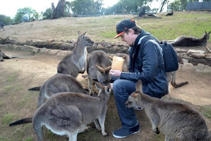 Feeding kangaroos Bonorong