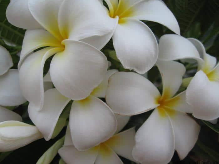 Broome Wet Season Flowers - Best Of The Kimberley