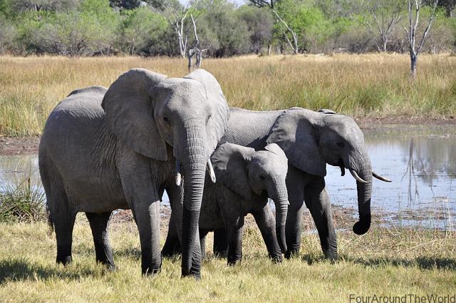 elephants in the wild