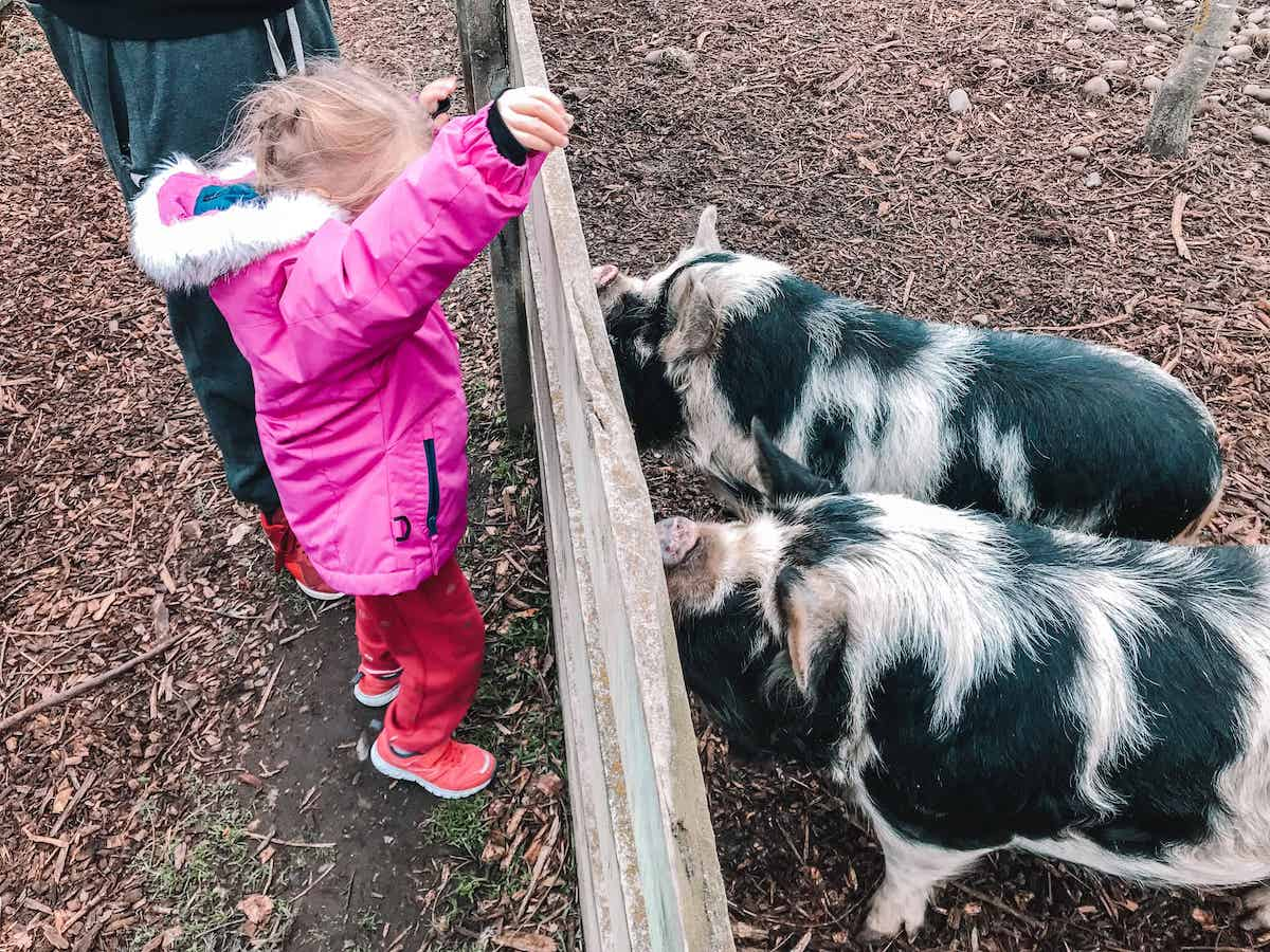 feeding pigs at zoo in christchurch