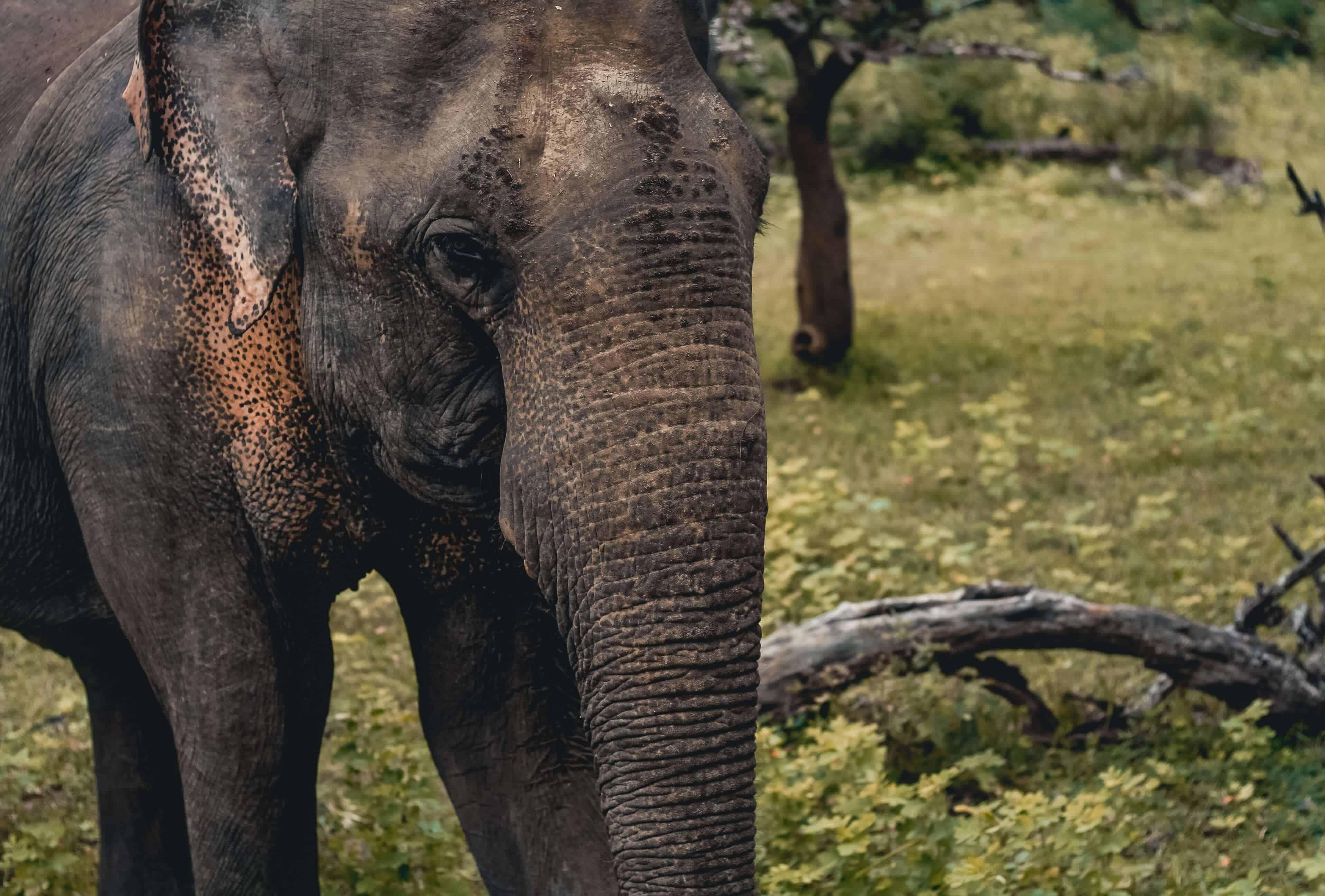 Yala national park elephant