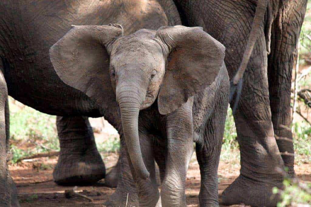 Elephant in africa - african road trip