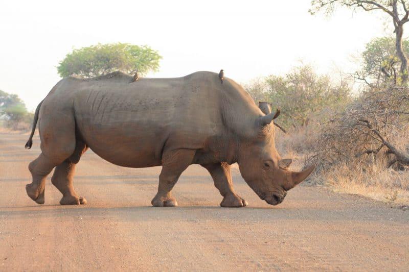 Rhino in Kruger National PArk