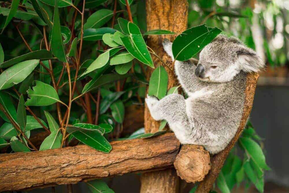 Virtual tour lone pine koala sanctuary